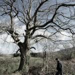 Un chêne à Locronan